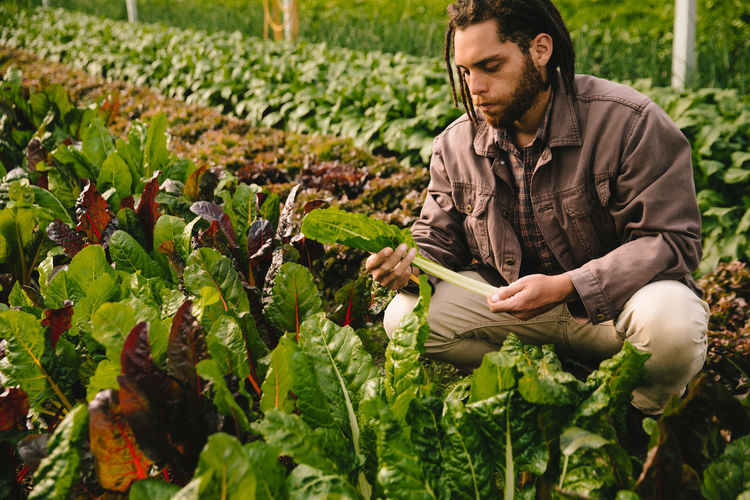 Young man picking vegetables in greenhouse