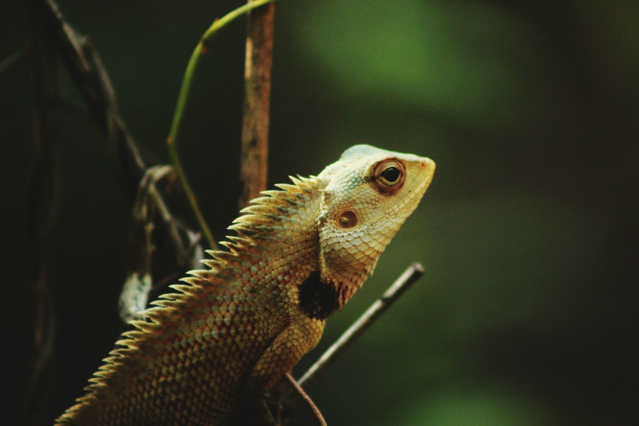 animal themes, animal, animal wildlife, animals in the wild, one animal, reptile, close-up, vertebrate, lizard, green color, focus on foreground, nature, no people, animal body part, selective focus, plant, day, outdoors, bearded dragon, animal head, animal scale, animal eye