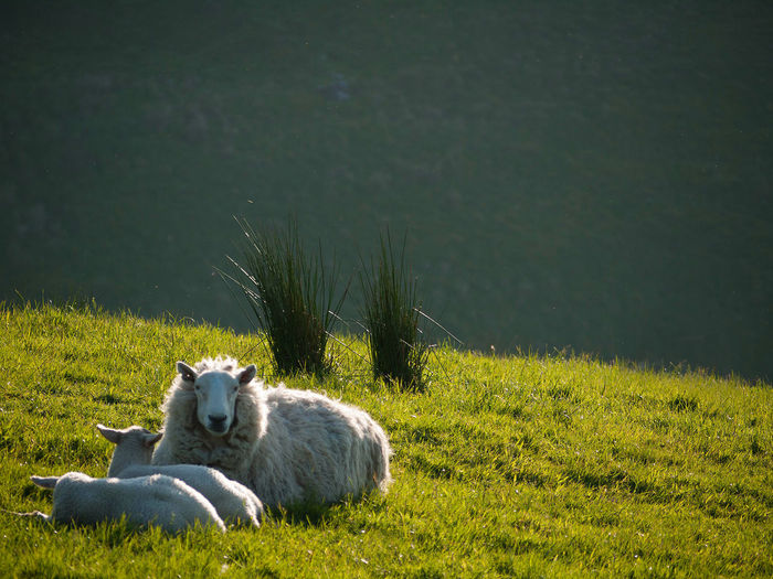 Animal Family Beauty In Nature Day Field Glenballyeamon Grass Grassy Green Color Lake Lakeshore Landscape Mammal Mountain Sheep Nature No People Northern Ireland Outdoors Plant Relaxation Resting Scenics Tranquil Scene Tranquility Ulster Water