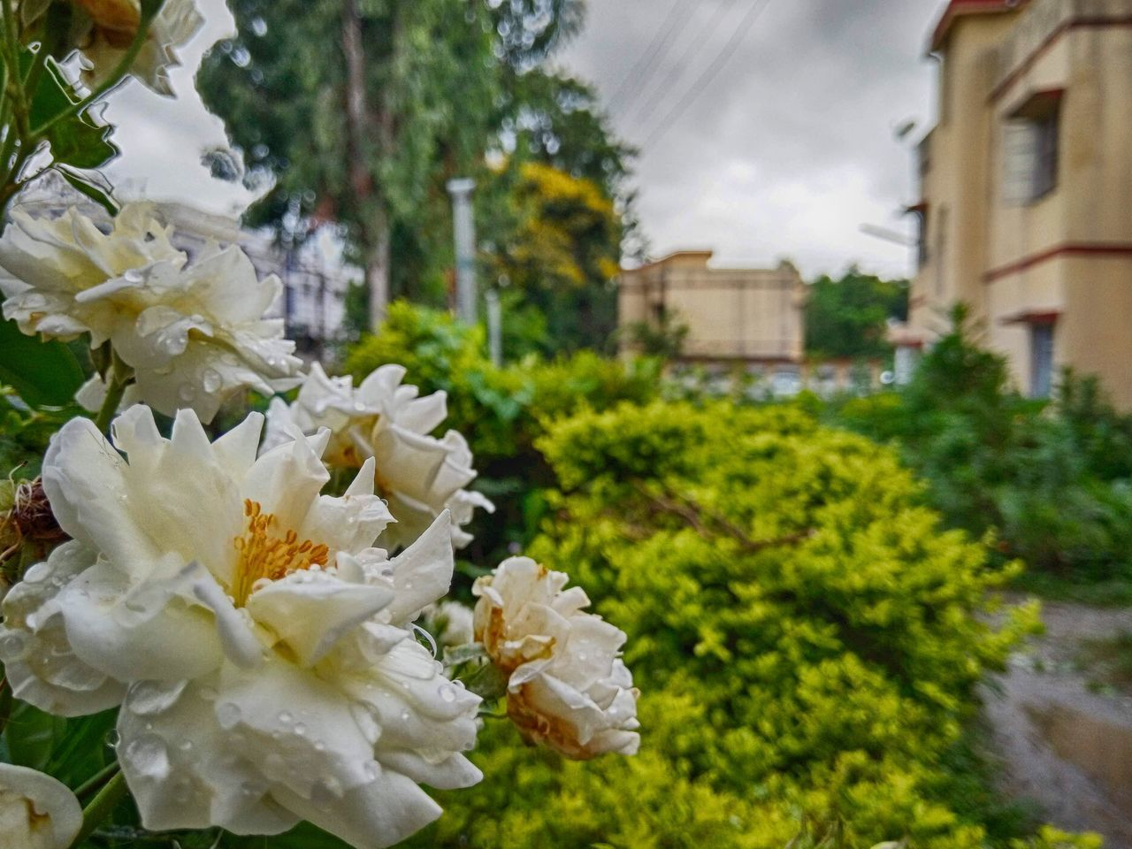 plant, flowering plant, flower, beauty in nature, freshness, fragility, vulnerability, growth, nature, focus on foreground, close-up, building exterior, white color, architecture, petal, built structure, day, inflorescence, tree, flower head, no people, outdoors