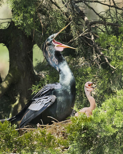 Anhinga Anhinga With Baby Animal Themes Animals In The Wild Bird Day Nature Outdoors Tree Ugly Baby
