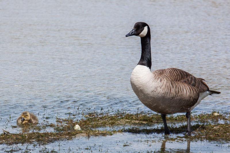 Scenes of New Zealand Bird Bird Photography Birds Chick Duck Nature Nature_collection Ocean Sea Seaside Water Waterfront