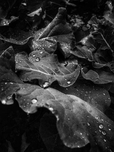 Leaves🌿 Water Droplets Beauty In Nature Water Drops Selective Focus Water Drops Wet Growth Freshness Nature Leaves Full Frame (null)Botany Outdoors Togetherness Scenics Black And White Rain Droplets Perspective Lush Foliage Views