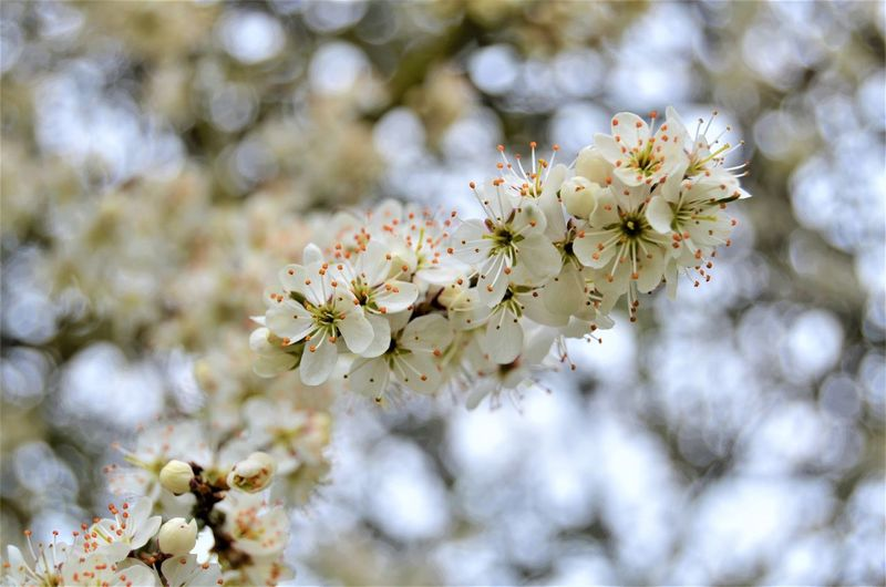 Plant Flower Fragility Freshness Flowering Plant Tree Vulnerability  Beauty In Nature Blossom Springtime Branch Close-up Cherry Blossom Growth Nature Twig White Color Focus On Foreground Petal No People Flower Head Cherry Tree Pollen Outdoors Bunch Of Flowers Nature By Tania Andreea