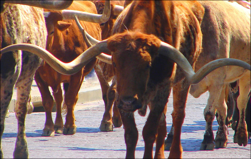 Longhorns on a stroll. Animal Themes Day Herd Animal Horse Livestock Longhorns Mammal Nature No People Outdoors Standing Texas Long Horn Togetherness Water