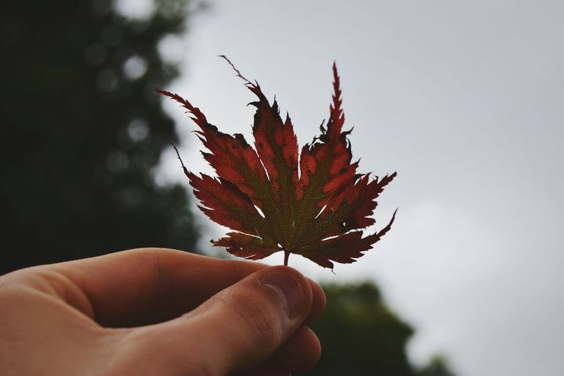 Another Maple Leaf...Thought it was best for a re-upload :) Colour Of Life Contrast Tones Hello World Taking Photos Hanging Out Simplicity Nature Shadowy Bold Colors Check This Out