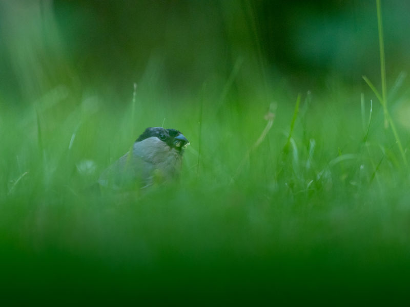 Dompfaff Gimpel Animal Animal Themes Animal Wildlife Animals In The Wild Beauty In Nature Bird Birds Day Field Grass Green Color Land Motion Nature No People One Animal Outdoors Perching Plant Selective Focus Vertebrate