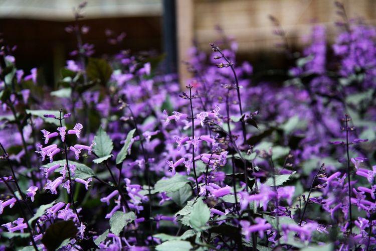 Lavender Taking