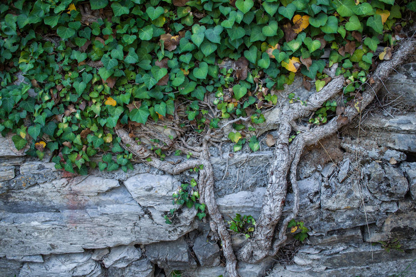 Road to San Rocco Beauty In Nature Close-up Day Green Color Growth Leaf Nature No People Outdoors Plant Stone Wall Tree