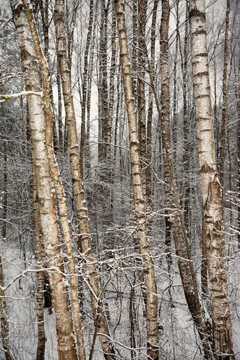 Full frame shot of bare trees in forest