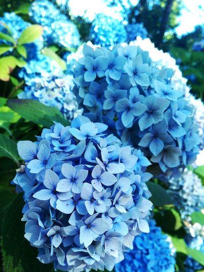Flowers Nature Summer Hydrangea