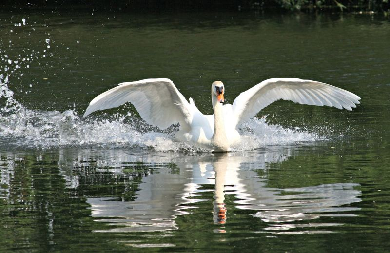 Beauty In Nature Lake Nature Reflection Spread Wings Swan Water Water Bird