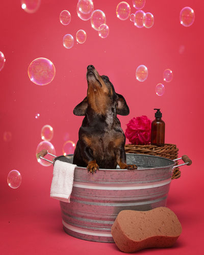 Dog On Dog In Bucket Against Pink Background