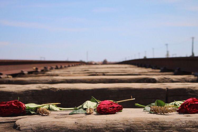 Auschwitz-birken