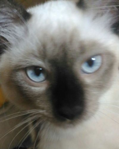 Photography Feline One Animal Domestic Cat Looking At Camera Portrait Persian Cat  Photocat Tarak Amaldicaodotigre