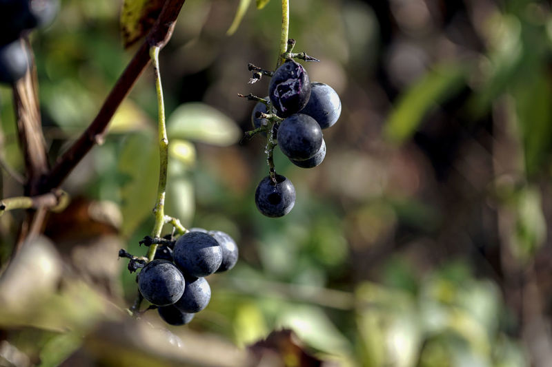 Berry Fruit Black Color Blueberry Close-up Day Focus On Foreground Food Food And Drink Freshness Fruit Growth Healthy Eating Nature No People Outdoors Plant Plant Stem Ripe Selective Focus Tree Wellbeing