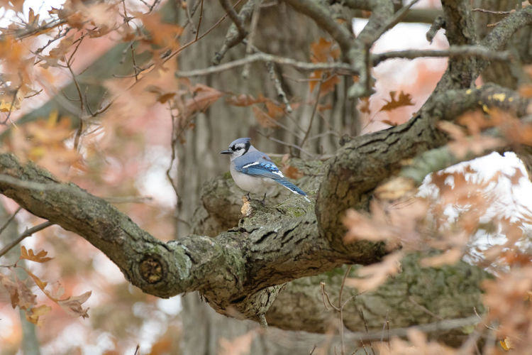 Blue jay perching on branch of tree