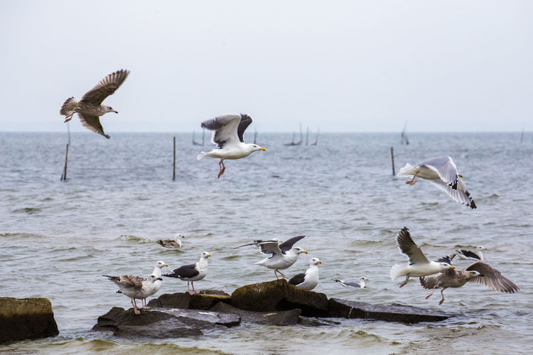 Autumn Baltic Sea Beauty In Nature Bird Flock Of Birds Flying Medium Group Of Animals Nature Scenics Sea Seagull Spread Wings Togetherness Tranquil Scene Water Water Bird Wildlife Zoology