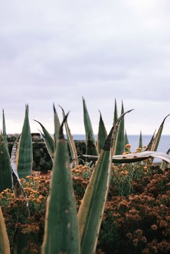Close-up of succulent plants on land against sky