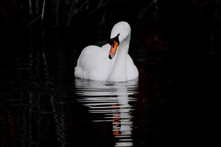 in the dark Beauty In Nature Nature Photography Nature_collection My Point Of View Reinheimer Teich Focus Colorsplash_theworld Animal Themes Swan Bird Water Swimming Reflection Water Bird White Swan Freshwater Bird