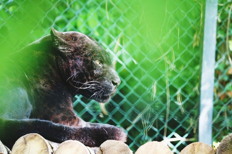 Bagheera looking around. Panther Black Panther Zoo Zoo Animals  Animal Photography JAGUAR Feline Big Cat Close-up Animals In Captivity