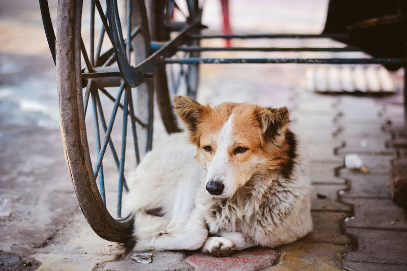 Dog Relaxing By Cart On Footpath