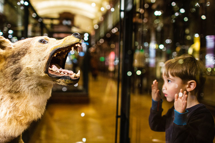 Portrait of cute boy in a museum looking at a wolf