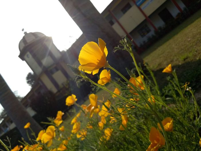Flower Yellow Outdoors Building Exterior Day No People Growth Plant Architecture Petal Flower Head Nature Low Angle View Freshness Close-up Beauty In Nature Sky Fragility Built Structure Chargawan Gorakhpur Uttar Pradesh Manjesh Photography Mobilephotography This Is Masculinity EyeEmNewHere Modern Workplace Culture