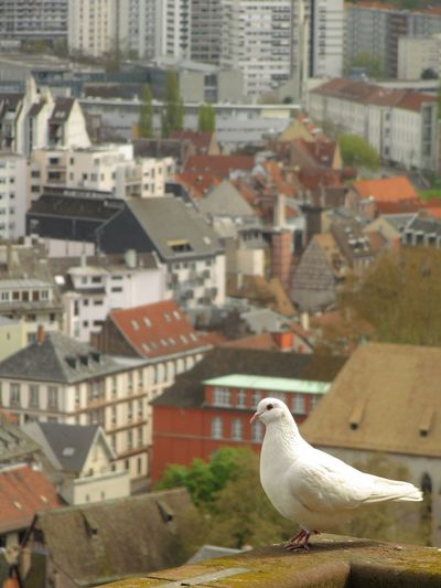 white pigeon, cathédrale Animal Animal Themes Animal Wildlife Animals In The Wild Architecture Bird Building Building Exterior Built Structure City Day Focus On Foreground House No People One Animal Outdoors Perching Residential District Roof Seagull Vertebrate White Color
