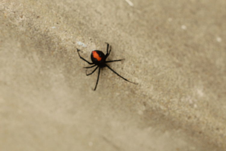 Red-back Spider Poisonous Dangerous Spider Invertebrate Animal Themes One Animal Animal Wildlife Close-up No People Zoology Spider Arachnid High Angle View From Above