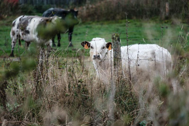 Fujifilm Fujifilm_xseries FUJIFILM X-T2 Mammal Livestock Animal Animal Themes Domestic No People Field Herbivorous Land Cow Cattle Livestock Field Autumn Pets Domestic Cattle Vertebrate Calf Cute