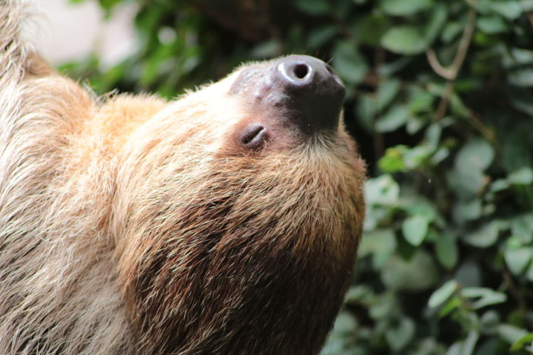 Close-up of sloth with eye closed