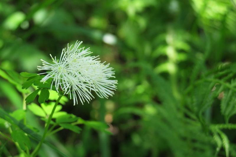 唐松草 Alpine Plant Flower Flowerporn Naturelovers Beautiful Nature EyeEm Best Shots The Purist (no Edit, No Filter) 南アルプス市