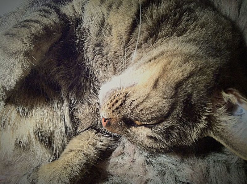 Womansbestfriend  Furry Friends Pets Corner Pet Portraits Selfietime Snuggling Taking A Break Napping Cat Relaxing Moments Greycat Monochromatic View From Above Close Up Shoot Fragility Softness Sleeping Cat TabbyCat Catlover Closeupshot Animal Photography