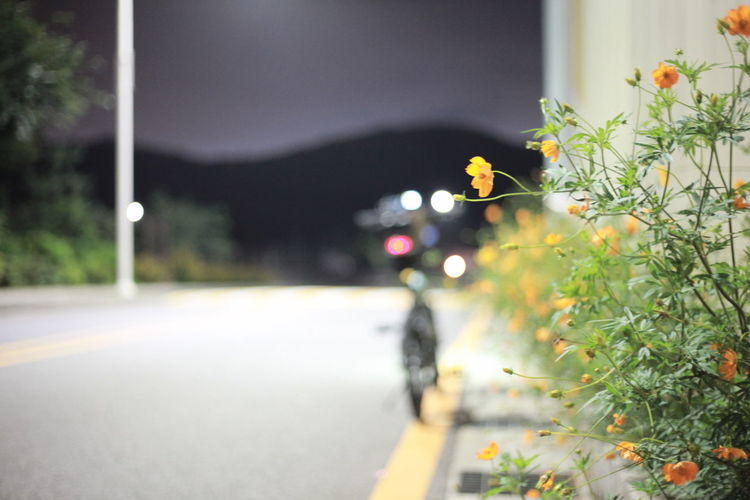 Close-up of flowering plant on road in city