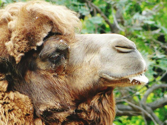Close-up of bactrian camel