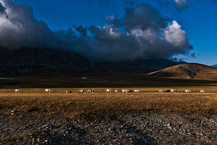 Row of cattle moving on a high plateau under a stormy sky
