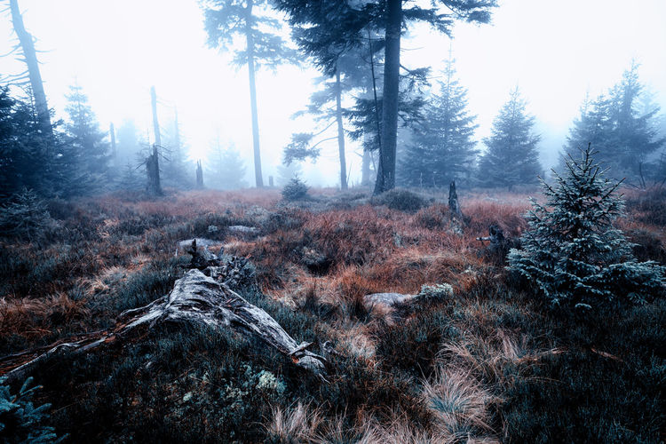 Tree Plant Land Tranquility Forest Tranquil Scene Nature Scenics - Nature Environment Day Beauty In Nature Growth Landscape Non-urban Scene Sky Outdoors Field Remote Pine Tree Harz Harzmountains Nature_collection Nature Fog Foggy