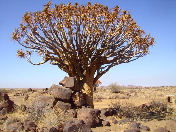 Aloe Dichotoma Arid Climate Beauty In Nature Namibia Outdoors Quivertree  Scenics Tranquility Tree Tree Trunk