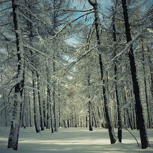 Landscape Snow Trees Pinetrees Pines Wandering Protecting Where We Play