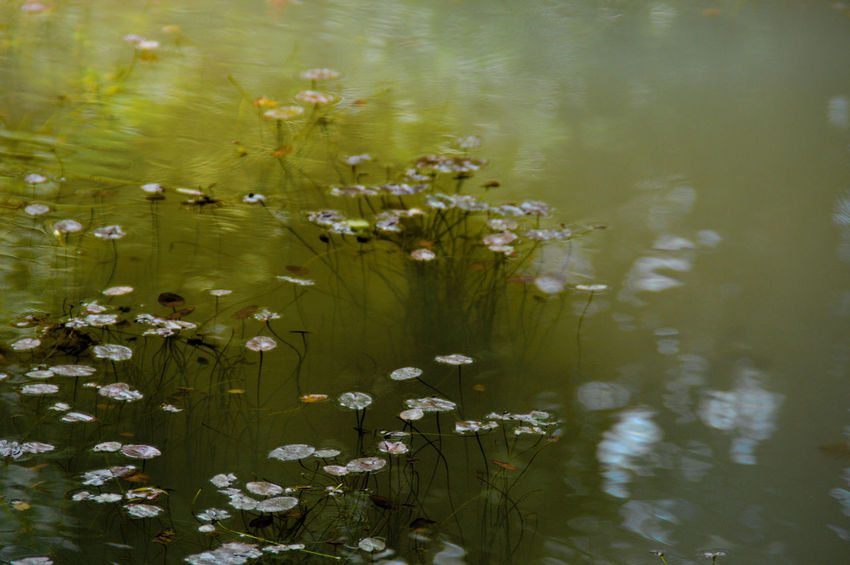 Swamp Plants Swamp Aquatic Plant Freshness Simplicity Minimalism The Week On EyeEm Green Color Ghostly Water Eerie Beautiful Eerie Photos Eerie Scene Murky Waters Goto Kola