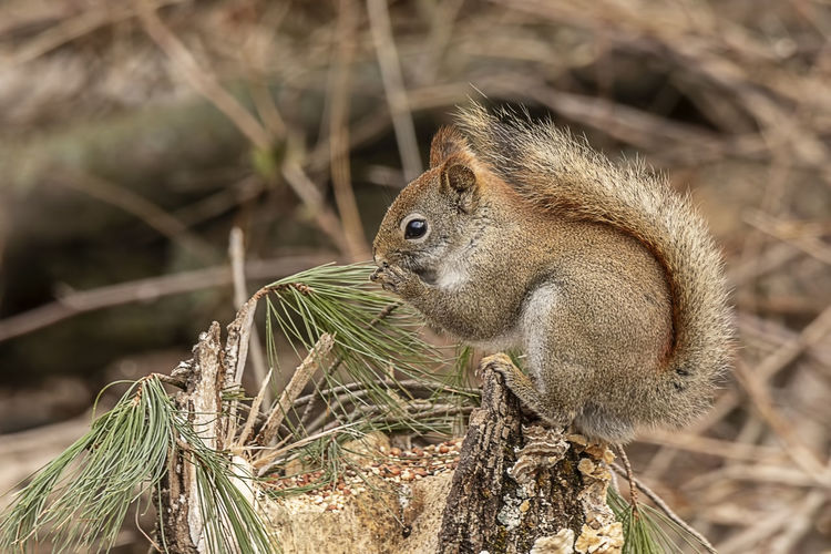 A small squirrel stopping for a snack in the forest. One Animal Animal Themes Animal Wildlife Animals In The Wild Animal Rodent Mammal Nature Squirrel Outdoors Side View Sunlight Profile View Sciuridae Tree Rat Wildlife Furry Whiskers Beauty In Nature WoodLand Forest Tail