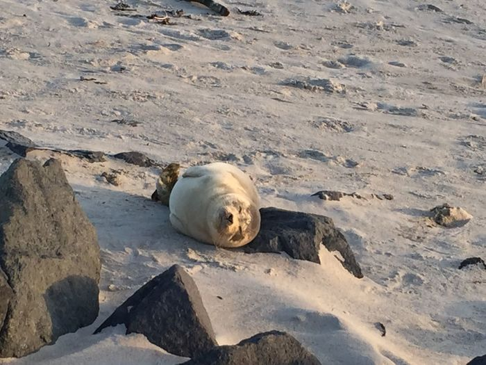 Seal relaxing in Helgoland | 2016 Animals Beach Beauty In Nature Cold Temperature Day Helgoland Island Nature Nature No People Northsea Outdoors Sand Seal Snow Wildlife Wildlife & Nature Wildlife Photography Winter