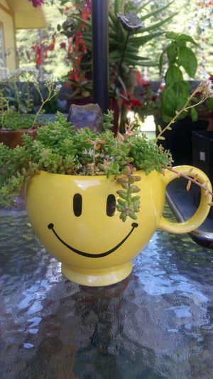 Happy plant. Outdoors Nature Yellow Day Freshness Sandpoint Enjoying Life Nature Smiling Face DontWorryBeHappy Plants 🌱 Joys Of Life Smileeveryday Hope. Faith. Love. Flowers,Plants & Garden Foilage