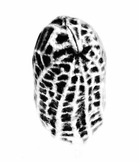 White Background Spotted Animal Markings One Animal Animal Wildlife No People Close-up Animal Themes Nature Leopard Day Peanut Goober
