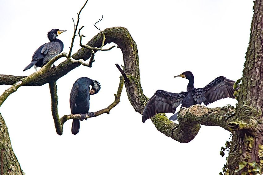 Cormorants Bird Animals In The Wild Animal Themes Perching Animal Wildlife Low Angle View Clear Sky Branch Tree Outdoors No People Day Sky Cormorants Cormorant  Cormorant Colony