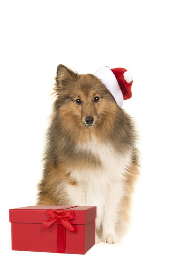 Sitting sheltland sheepdog sheltie facing the camera wearings santa's hat sitting in front of a red present box on a white background Shetland Sheepdog Sheltie Christmas Present Red White Background Gift Holiday Canine Animal Themes Domestic Animals Dog One Animal Studio Shot Gift Box Santa Hat Pets