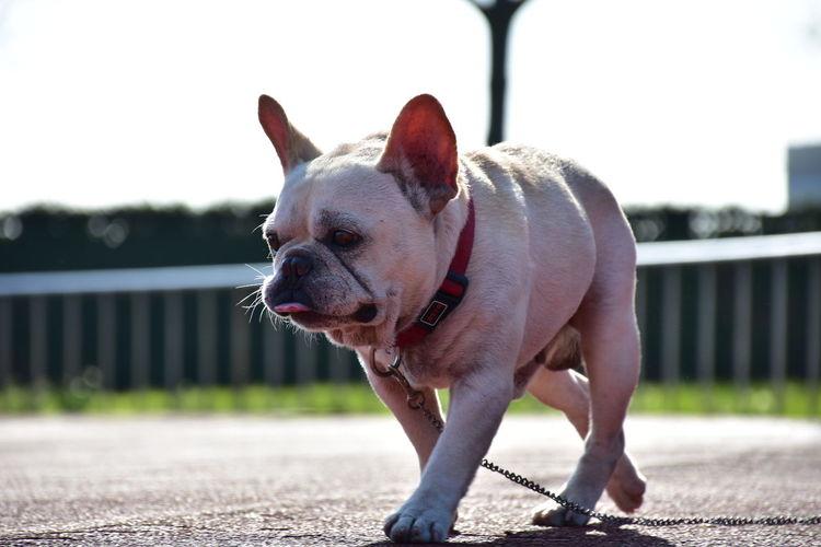 One Animal Pets Animal Dog Outdoors Domestic Animals No People Mylove Like Like4like French Bulldog