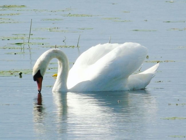 Bird Animals In The Wild Swan White Color Wildlife Water Beak Swimming Reflection Rippled Nature Avian Outdoors One Animal Somerset Levels Uk In All Its Glory Nature On Your Doorstep