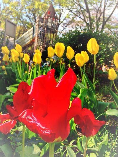 チューリップが咲きました。 Flower Porn EyeEm Flower Flower Collection Tulips